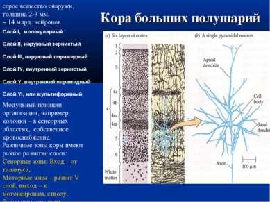 Кора больших полушарий Слой I, молекулярный Слой II, наружный зернистый Слой ...