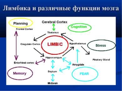 Лимбика и различные функции мозга