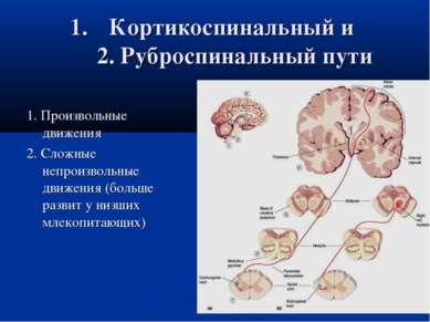Кортикоспинальный и 2. Руброспинальный пути 1. Произвольные движения 2. Сложн...