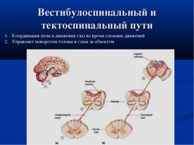 Вестибулоспинальный и тектоспинальный пути Координация позы и движения глаз в...