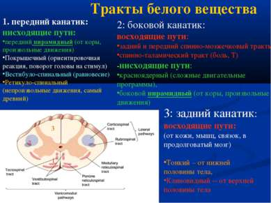 Тракты белого вещества 1. передний канатик: нисходящие пути: передний пирамид...