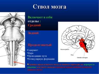 Ствол мозга Граница продолговатого мозга и спинного проходит по перекресту пи...