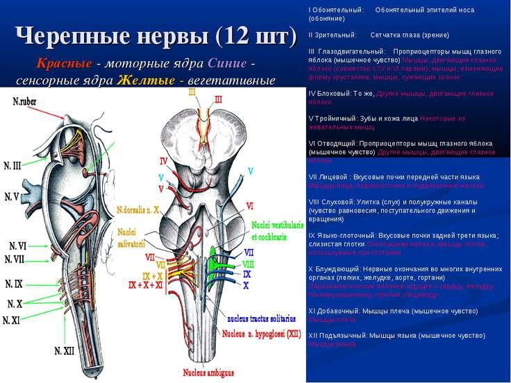 Черепные нервы (12 шт) Красные - моторные ядра Синие - сенсорные ядра Желтые ...