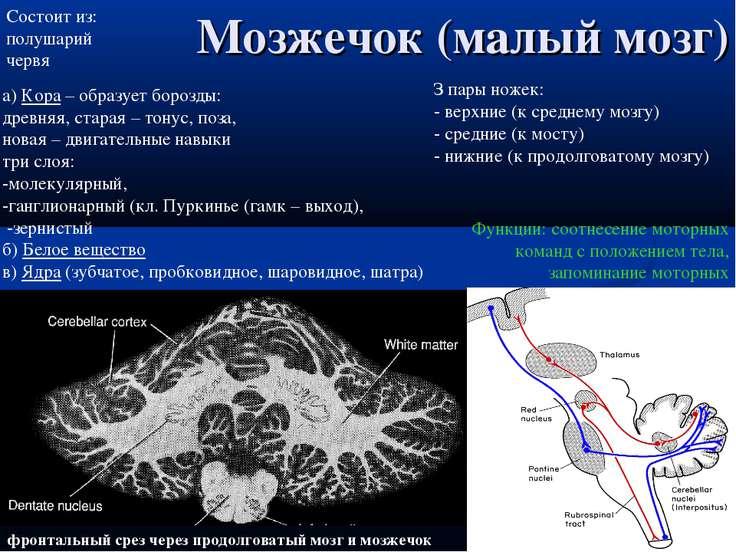 фронтальный срез через продолговатый мозг и мозжечок Мозжечок (малый мозг) Фу...