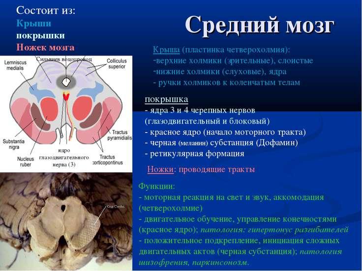 Средний мозг Состоит из: Крыши покрышки Ножек мозга Ножки: проводящие тракты ...