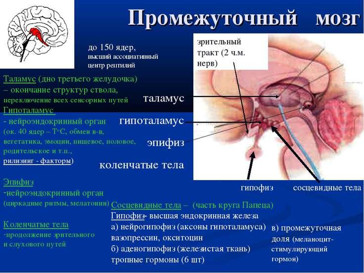 Промежуточный мозг таламус гипоталамус эпифиз коленчатые тела сосцевидные тел...