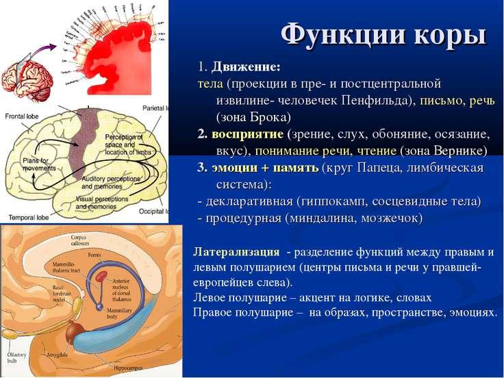 Функции коры 1. Движение: тела (проекции в пре- и постцентральной извилине- ч...