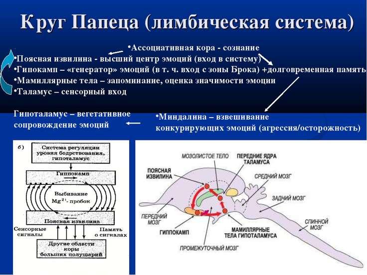Круг Папеца (лимбическая система) Ассоциативная кора - сознание Поясная извил...