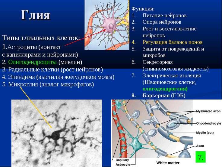 Глия Типы глиальных клеток: 1.Астроциты (контакт с капиллярами и нейронами) 2...