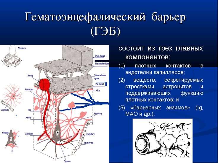 Гематоэнцефалический барьер (ГЭБ) состоит из трех главных компонентов: (1) пл...
