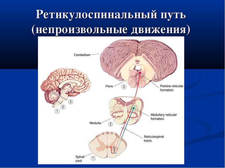 Ретикулоспинальный путь (непроизвольные движения)