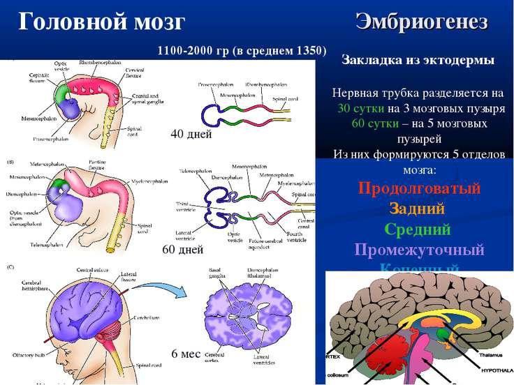Эмбриогенез 40 дней 60 дней 6 мес Закладка из эктодермы Нервная трубка раздел...