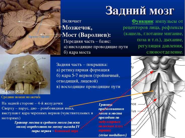 Задний мозг Граница продолговатого мозга и моста проходит по медуллярным поло...