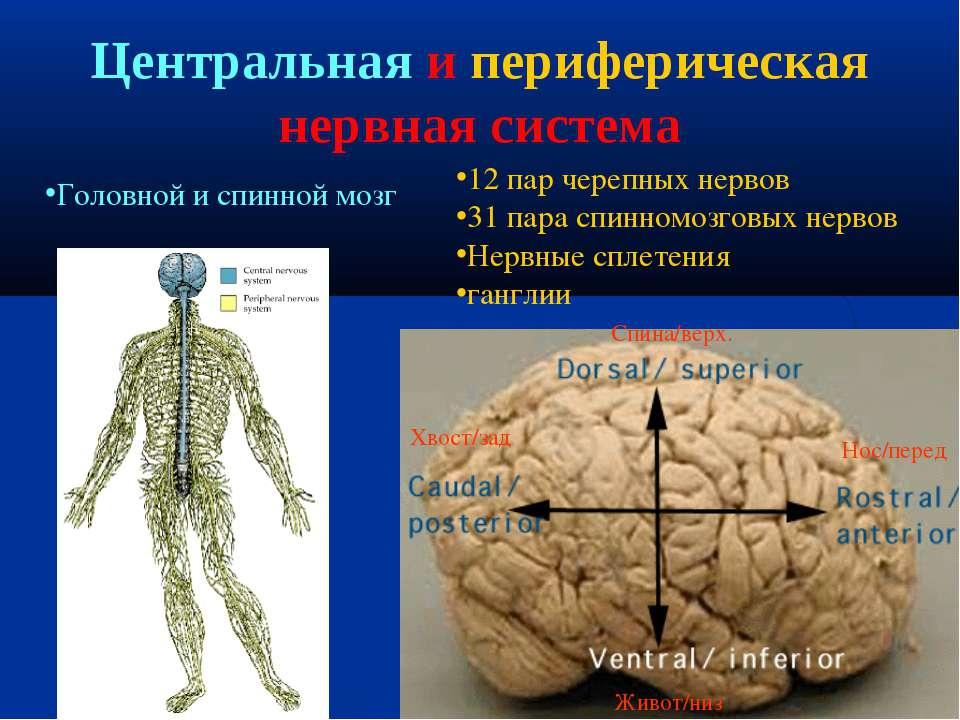 Центральная и периферическая нервная система 12 пар черепных нервов 31 пара с...