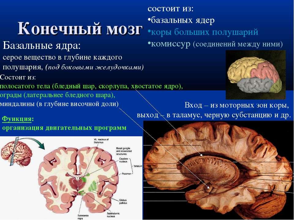 Конечный мозг состоит из: базальных ядер коры больших полушарий комиссур (сое...