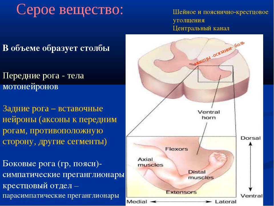 Серое вещество: В объеме образует столбы Передние рога - тела мотонейронов За...
