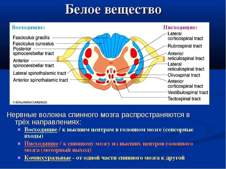 Белое вещество Нервные волокна спинного мозга распространяются в трёх направл...