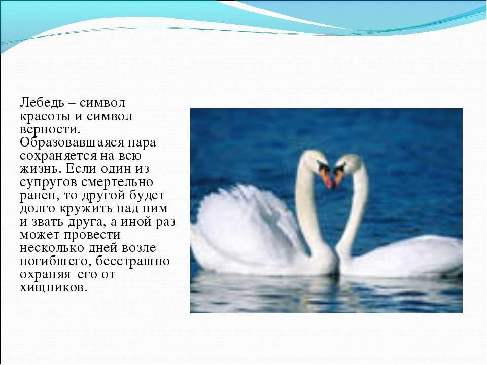 Лебедь – символ красоты и символ верности. Образовавшаяся пара сохраняется на...