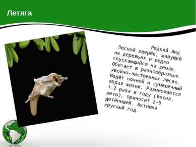 Летяга Редкий вид Лесной зверёк, живущий на деревьях и редко спускающийся на ...