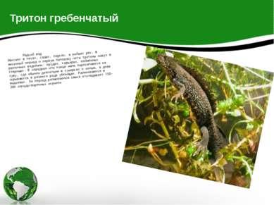 Тритон гребенчатый Редкий вид Обитает в лесах, садах, парках, в поймах рек. В...