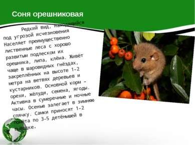 Соня орешниковая Редкий вид, находящийся под угрозой исчезновения Населяет пр...