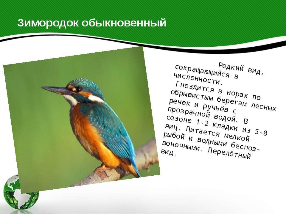 Зимородок обыкновенный Редкий вид, сокращающийся в численности. Гнездится в н...