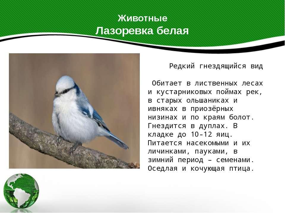 Животные Лазоревка белая Редкий гнездящийся вид Обитает в лиственных лесах и ...
