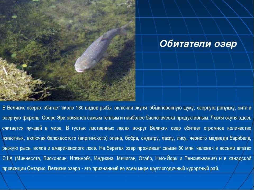 В Великих озерах обитает около 180 видов рыбы, включая окуня, обыкновенную щу...