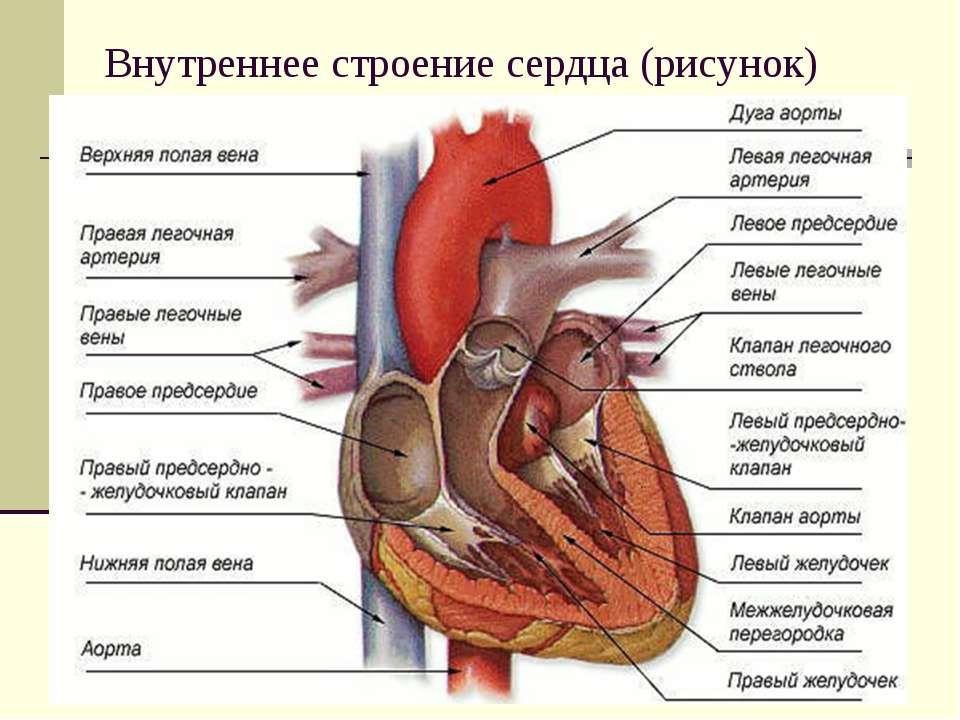 Внутреннее строение сердца (рисунок)