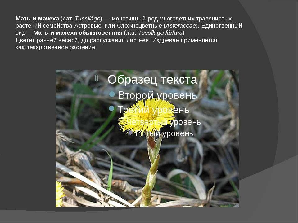 Мать-и-мачеха(лат.Tussilágo)—монотипный родмноголетних травянистых расте...