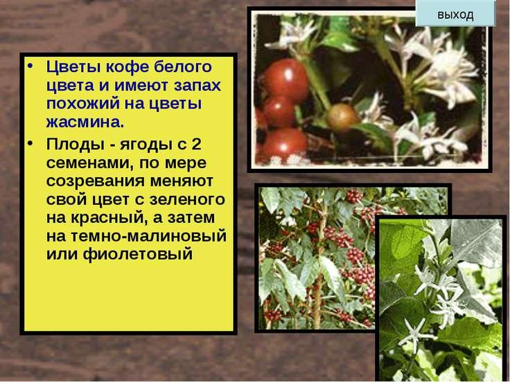 Цветы кофе белого цвета и имеют запах похожий на цветы жасмина. Плоды - ягоды...