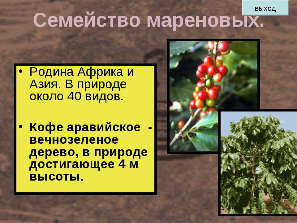 Семейство мареновых. Родина Африка и Азия. В природе около 40 видов. Кофе ара...