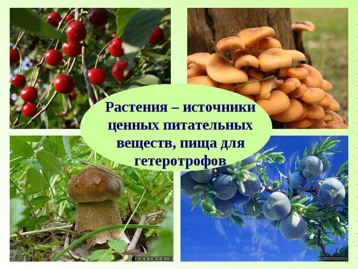 Растения – источники ценных питательных веществ, пища для гетеротрофов