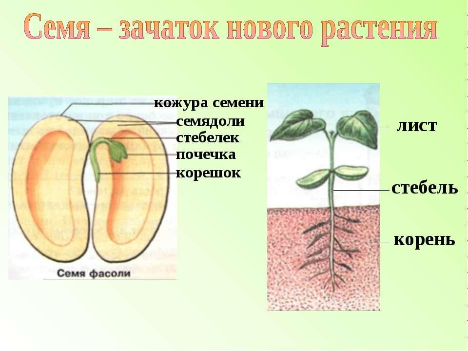 лист стебель корень кожура семени семядоли стебелек почечка корешок