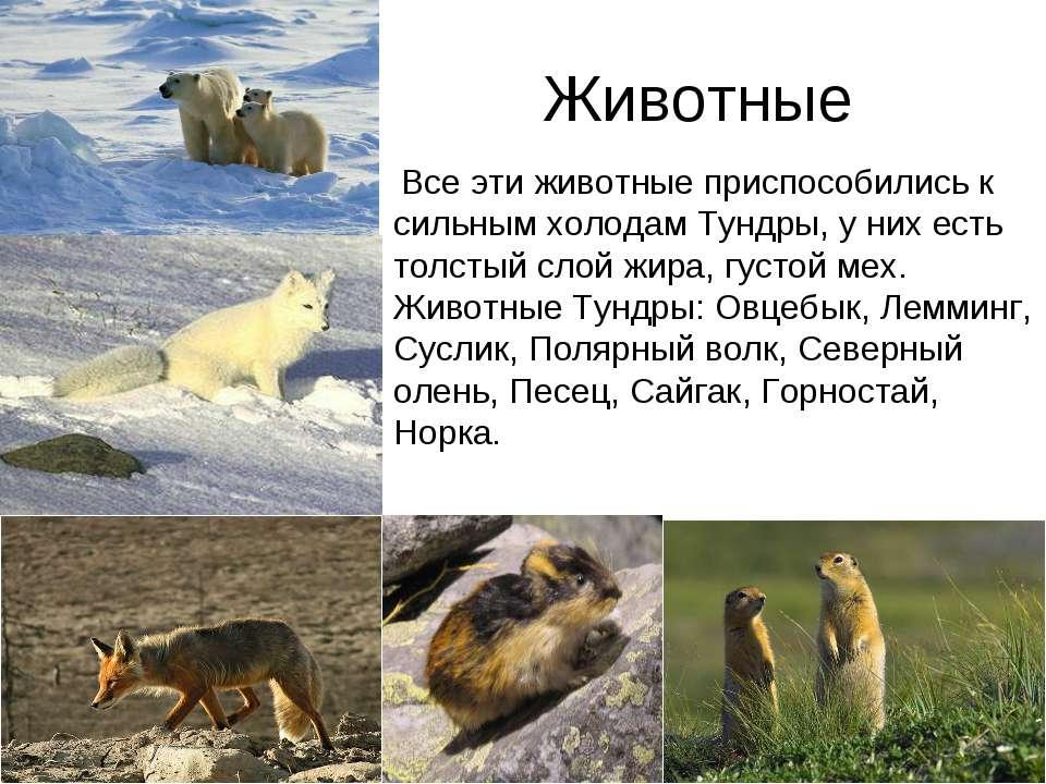 Животные Все эти животные приспособились к сильным холодам Тундры, у них есть...
